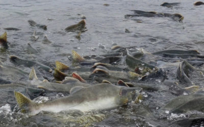 Pink Salmon — Too Much of a Good Thing?